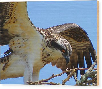 Wood Print featuring the photograph Osprey Youth by Dianne Cowen