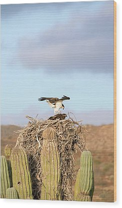 Ospreys Nesting In A Cactus Wood Print by Christopher Swann