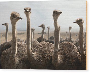 Ostrich Heads Wood Print by Johan Swanepoel