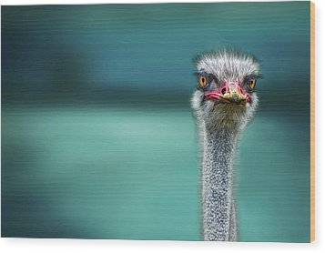 Ostrich Protecting Two Poor Chicken From The Wind Wood Print by Piet Flour