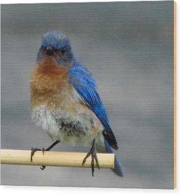 Our Own Mad Bluebird Wood Print