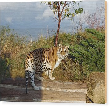 Out Of Africa  Tiger 1 Wood Print