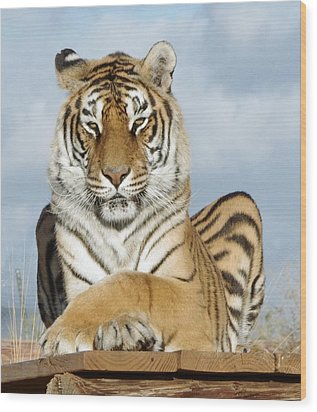 Out Of Africa Tiger 3 Wood Print