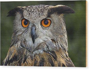 Owl Bubo Bubo Portrait Wood Print