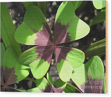 Oxalis Deppei Named Iron Cross Wood Print by J McCombie