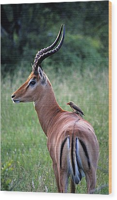 Wood Print featuring the photograph Oxpecker And Impala by Dennis Cox WorldViews