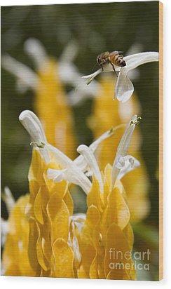 Pachystachys Lutea - Lollipop Plant - Golden Candle - Shrimp Plant Wood Print by Sharon Mau