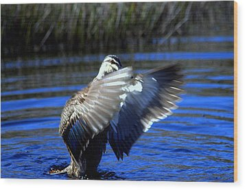 Wood Print featuring the photograph Pacific Black Duck by Miroslava Jurcik