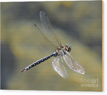 Paddletail Darner In Flight Wood Print by Vivian Christopher