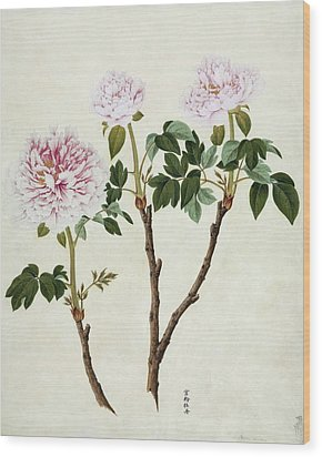 Paeonia Moutan, 19th-century Artwork Wood Print by Science Photo Library