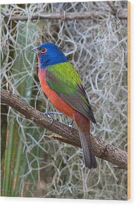 Painted Bunting Wood Print by Phil Stone