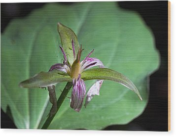 Painted Trillium Wood Print by Cheryl Cencich