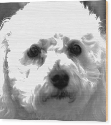 Wood Print featuring the photograph Painterly Bichon Frise by Patrice Zinck