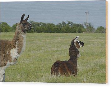 Pair Of Alpacas Wood Print by Charles Beeler