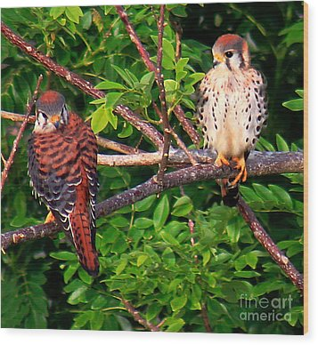 Caribbean Falcons Wood Print