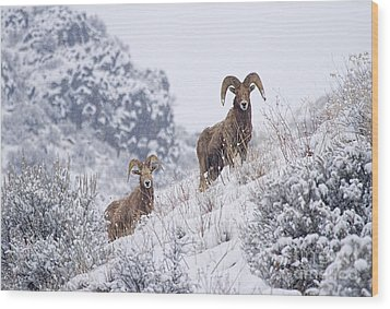 Pair Of Winter Rams Wood Print by Mike  Dawson