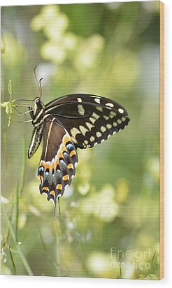 Palamedes Swallowtail 2 Wood Print by Kathy Gibbons