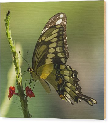 Wood Print featuring the photograph Palamedes Swallowtail by Jane Luxton
