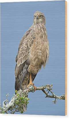 Pale Chanting Goshawk Wood Print by Science Photo Library