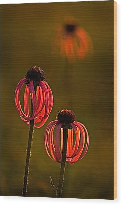 Pale Purple Cone Flowers Wood Print by Robert Charity
