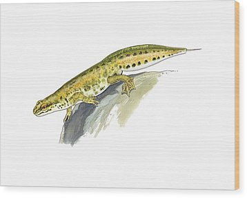 Palmate Newt, Artwork Wood Print