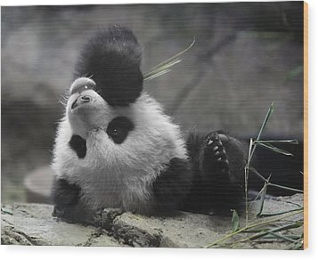 Panda Cub At National Zoo Wood Print