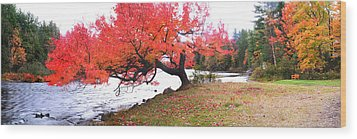 Panorama Of Red Maple Tree, Muskoka Wood Print by Henry Lin