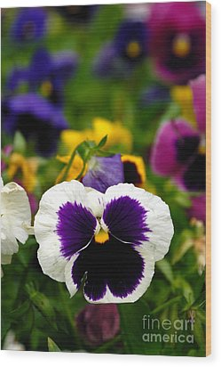 Pansies Wood Print by Amy Cicconi