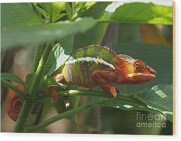 Wood Print featuring the photograph Panther Chameleon Madagascar 1 by Rudi Prott