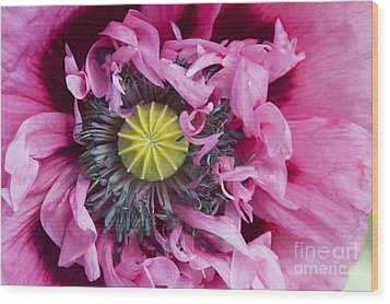 Papaver Somniferum Pink  Wood Print by Tim Gainey