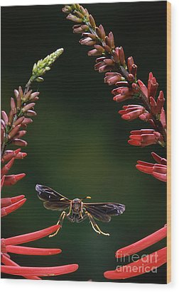 Paper Wasp In Flight Wood Print by Stephen Dalton