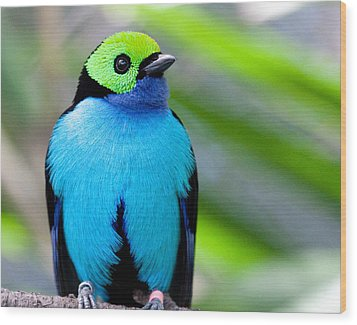 Paradise Tanager Wood Print by Nathan Rupert