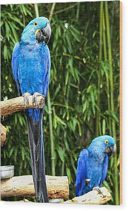 Parroting Parrots Wood Print by Toma Caul
