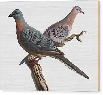 Passenger Pigeon  Wood Print by Spencer Sutton