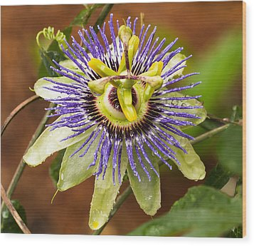 Passion Flower Wood Print by Patricia Schaefer