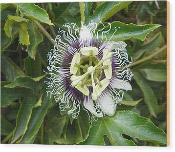 Passionflower  Wood Print by Noreen HaCohen