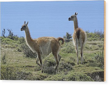 Patagonian Guanacos Wood Print by Michele Burgess