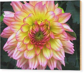 Peach Dahlia Wood Print by Will Boutin Photos