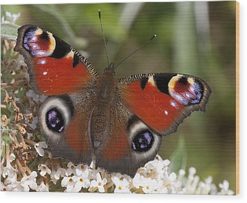Peacock Butterfly Wood Print by Richard Thomas