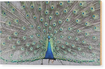 Wood Print featuring the photograph Peacock by John Telfer