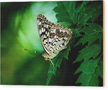 Pearly-eye Butterfly Wood Print