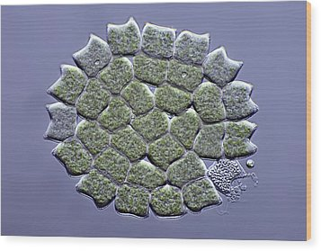 Pediastrum Green Algae, Micrograph Wood Print by Science Photo Library