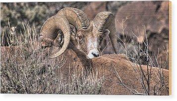 Peekaboo Bighorn  Wood Print