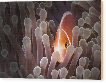 Peeking Anemone Fish Wood Print