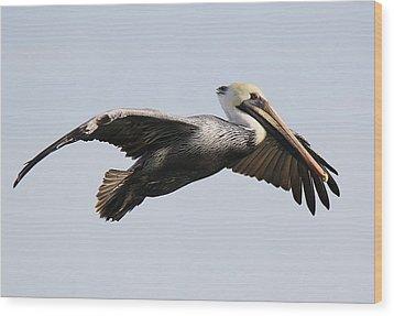 Pelican In Flight Wood Print by Paulette Thomas