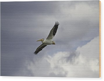 Pelican In Flight Wood Print by Thomas Young