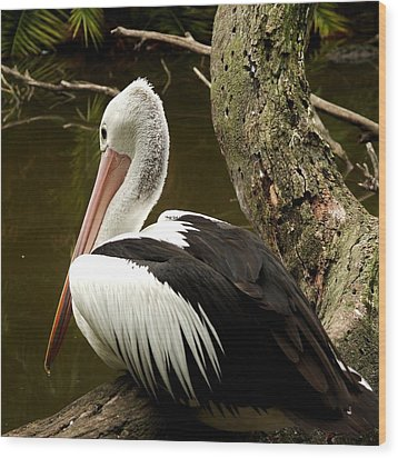 Pelican Poise Wood Print by Maria  Disley