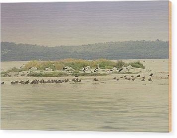 Pelicans At Poddy Shot Wood Print by Elaine Teague