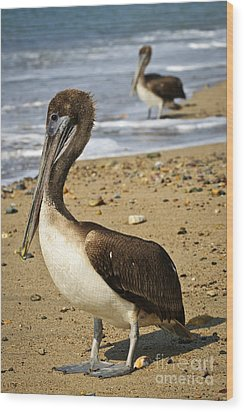 Pelicans On Beach In Mexico Wood Print by Elena Elisseeva