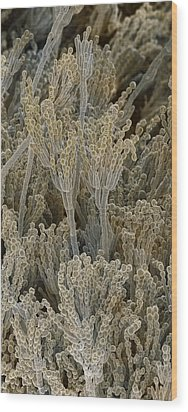 Penicillium Fungal Spores, Sem Wood Print by Power And Syred